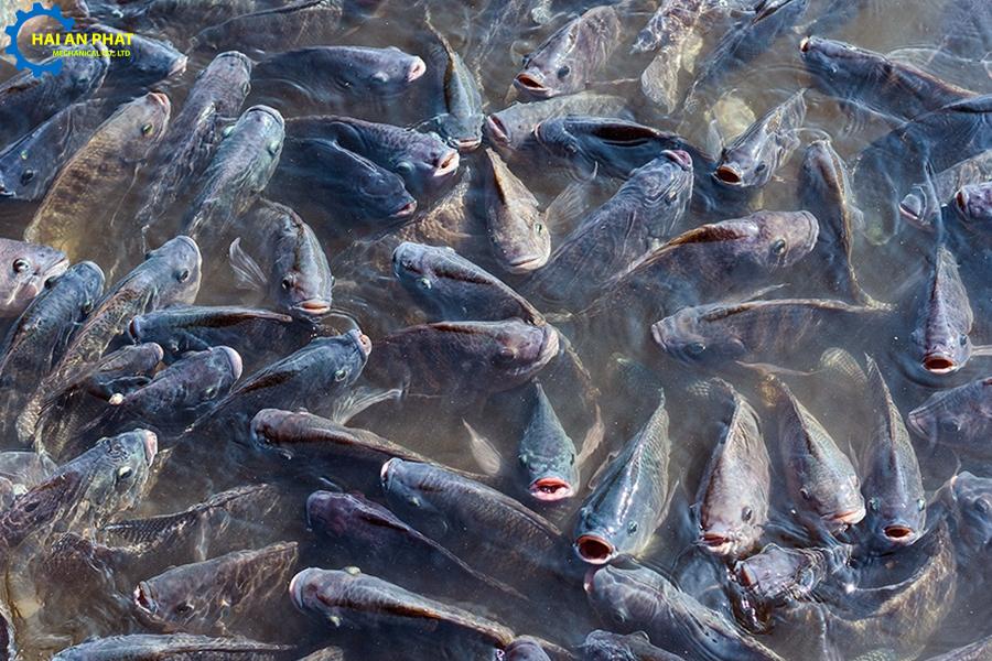 thức ăn cho cá rô phi