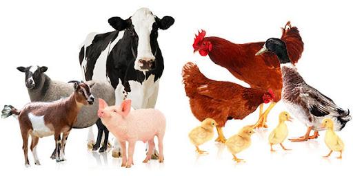 cám chăn nuôi gà