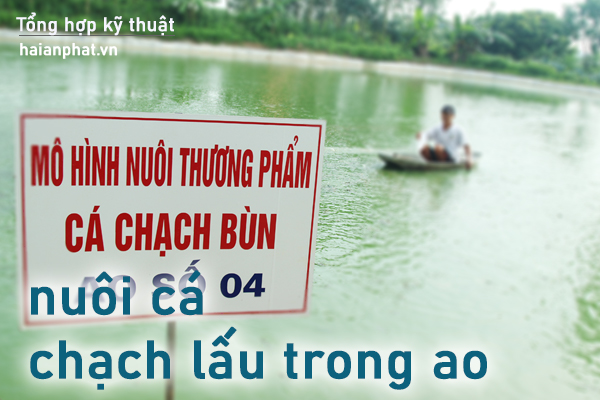 nuoi ca chach lau trong ao dat
