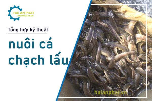 Cá Chạch lấu là loài cá nước ngọt, là một trong những giống cá cho năng suất cao. Hiệu quả kinh tế từ loài cá này đã thu hút nhiều hộ gia đình tham gia chăn nuôi. Hãy cùng Hải An Phát tham khảo tổng hợp lỹ thuật nuôi cá chạch lấu thương phẩm này nhé!